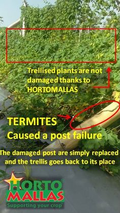 An easy image to undesratnd... the trellis wall fails due to termites weakening thye bamboo post, but the plant support made out of HORTOMALLAS stays in place, all it takes is push back into its place after you replace the post.