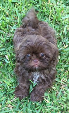 Chocolate Shih-Tzu from Glory Ridge Shih-tzu