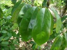 Soursop Herbs for Health