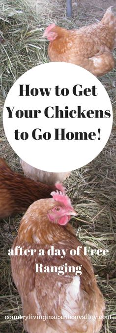 How DO you get the chickens to go back in their coop at the end of the day?