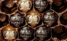 Bee time-lapse video (the 1st 21 days of a bee's life in 60 seconds). Beautiful. via treehugger