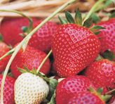 Strawberries - growing guide from Annabel Langbein