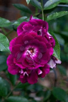 Photo of Rose (Rosa 'Burgundy Iceberg') uploaded by Mike