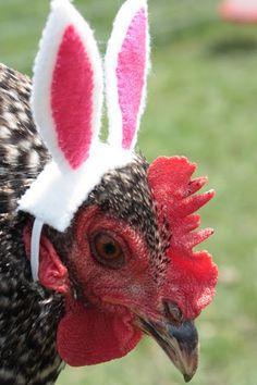 The Easter Bunny  AAAAAAAA HA HA HA! That must be a very well-loved pet chicken.