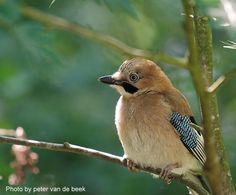 informatie over vogels van nederland, vogels kijken en fotos