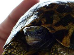 Diese Landschildkröte wurde erst einmal gerettet