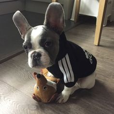 This is Reggie, he loves cuddles and food!! Adorable French Bulldog Puppy