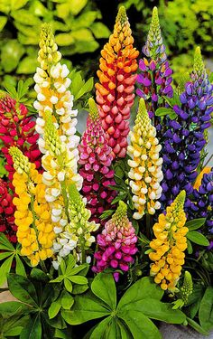 ~~Dwarf Lupins 'Gallery Mixture' Mix ~ with their compact growth and fantastic blend of colors, Dwarf Lupins are great for the border | Spalding Bulb~~