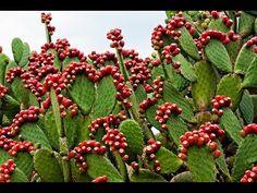 El Maravilloso Nopal, alimento y medicina (Opuntia)