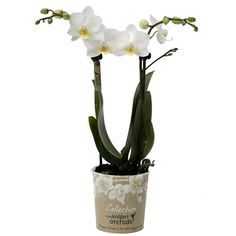 Little kolibri orchids finland Orchids, Glass Vase, Finland, Home Decor, Homemade Home Decor, Lilies, Decoration Home, Orchid, Interior Decorating