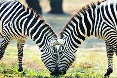 #Descubre Logran explicar la distribución de las rayas en las cebras