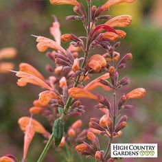Agastache Acapulco Orange is a durable, long-blooming hybrid Hummingbird Mint with pure orange flowers held on tall flowers spikes. Acapulco Orange Hummingbird Mint's foliage has a strong mint fragrance. Extremely attractive to hummingbirds.