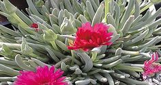 Ice Plant: Great ground cover for dry climates. Going to try this out