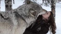 Video shows Kekoa the wolf show his owner plenty of affection in the snow