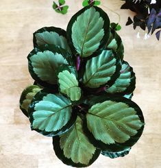 I found a few hard-to-find Calatheas @wedgewoodgardens yesterday. Part 1 of 3 posts. This is Calathea roseopicta 'Corona' • • • • #calathea #calathearoseopicta #calathearoseopictacorona #plants #houseplants #houseplantclub #instaplant #plantstagram #plantstyling #indoorplants #jungalowstyle #botanical #urbanjungle #botanicalwomen #plantparenthood #plantsmakepeoplehappy