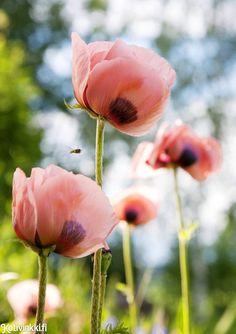 Perennat – 5 ihanaa vaihtoehtoa puutarhaan | Kotivinkki Text: Henrika Arle Pic: Hanna Marttinen #flower #garden Beautiful Flowers, Diy Flowers, Outdoor Gardens, Rose, Flower Garden, Flowers, Outdoor, Plants, Home And Garden