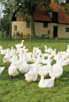 These Geese are in a beautiful setting... A pasture with a cottage in background! <3