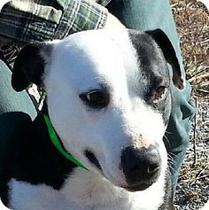 Gone  New Tazewell, TN - Pit Bull Terrier. Meet Harley a Dog for Adoption.