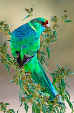 Australian ringneck parrot at Willandra National Park in New South Wales, eastern Australia • photo: Julian Robinson on Flickr