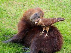 Pourquoi les autres animaux aiment autant les capybaras  2Tout2Rien