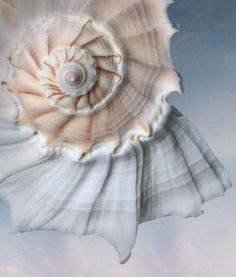 Beautiful Lightning Whelk