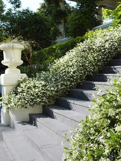 Confederate Jasmine, Star Jasmine (Trachelospermum jasminoides) up stairs Jasmine Ground Cover, Dream Garden, Home And Garden, Garden Path, Landscape Design, Garden Design, Trachelospermum Jasminoides, Hillside Landscaping, Outdoor Landscaping