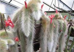 [Visit to Buy] 2016 Limited Hot Sale Seeds Sementes Cactus (hildewintera Colademononis) Plants Succulents Seeds Diy Home Garden - 20 Pcs/lot #Advertisement