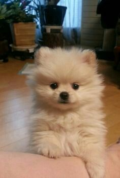 Pomeranian wants to play! - Pompon, my Boo - - Hunde babys - Puppies Puppy Wallpaper Iphone, Cute Puppy Wallpaper, Puppies Wallpaper, Animal Wallpaper, Cute Dogs And Puppies, Baby Dogs, Puppies Puppies, Doggies, Fluffy Puppies