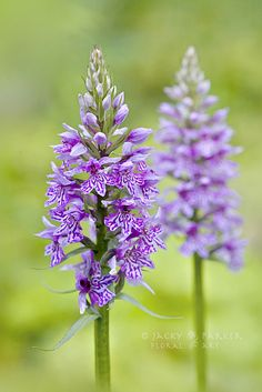 Little Spotted Orchids