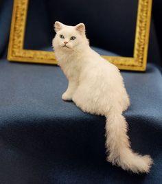 Kerri Pajutee persian cat