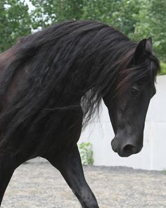Andalusian caballo