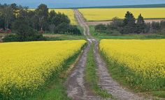 The path through canola blossoms is a common sight in Northern Maine.  Have you ever torn up one of these roads on your ATV?  :-)  |  Aroostook County