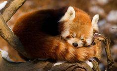Panda vermelho, Nepal