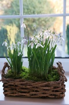 Group of Galanthus nivalis (snowdrop) planted in a wicker basket on windowsill