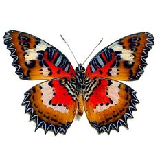 Real Framed Cethosia hypsea hypsina verso Red Malay Lacewing