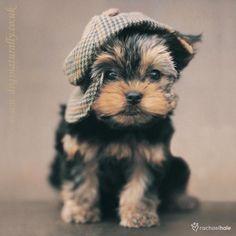 cutie...(Yorkie like Corky) <3