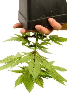 Growing Weed Indoors, Herbs Indoors, Growing Seeds, Marijuana Plants, Cannabis Plant, Best Led Grow Lights, Cannabis Cultivation, Grow Boxes, Plants