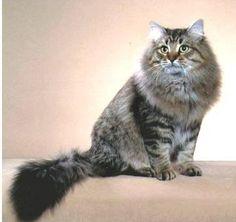 SIBERIAN CATS: HYPOALLERGENIC RUSSIAN BEAUTIES