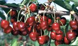 Kristin cherry / Gisela 5    The world's hardiest sweet cherry, Kristin has survived winters from windswept Norway to Montana. These big, black cherries are crack resistant and proven in our region. Ripens mid-July. On Gisela 5 rootstock. Needs pollenizer.
