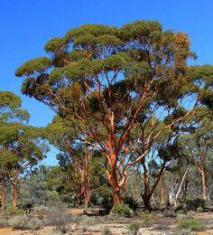Salmon Gums @ Kalgoorlie Western Australia by Amanda Paul Australian Plants, Australian Bush, Western Australia, Australia Travel, Tasmania, Australian Photography, Photo Tree, Modern Landscaping, Native Plants