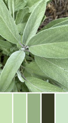 WALK THE TALK - Sage out of my garden, love the texture and soft green tone