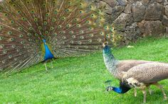 peacock pictures images photos