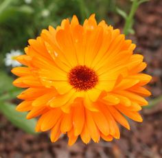 Calendula, the birth month flower for October meaning 'winning grace'.