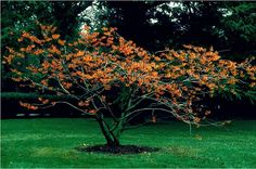 Beechwood Landscape Architecture and Construction: Jelena Witch Hazel, Featured Plant of The Day Small Trees For Garden, Garden Trees, Garden Plants, Garden Spaces, Trees And Shrubs, Trees To Plant, Penguin Books, Witch Hazel Tree, Rhododendron