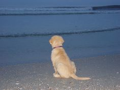 One last look! ..there really is something about a Golden and a beach :)