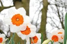 Leyendas e imágenes de Narcisos