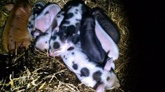 Update: Litters on the way. Expecting two more litters within the next month. These wil. Pigs For Sale, Teacup Pigs, Mini Pigs, Black Spot, Dogs, Animals, Piglets, Mini Teacup Pigs, Animales