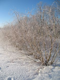 Curly Willow on the Branch Ranch in winter