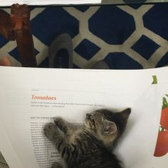 I could let him sleep anywhere near me (on me?)...Gilbert the kitten, napping and purring, nestled on #cooksscience page proofs