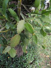 Rhipsalis pachyptera | by barbatum